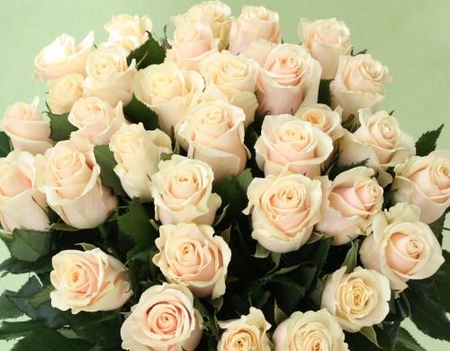 33 кремовых розы