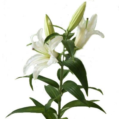 Белая лилия в Калуге